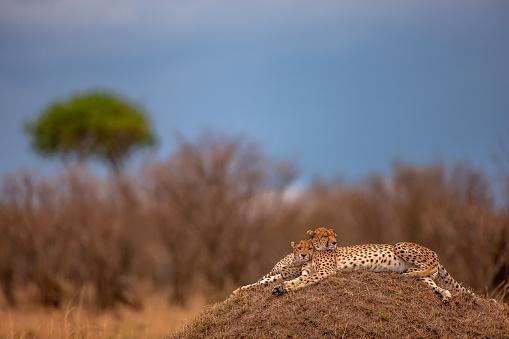 African Cheetah「The amazing scene of two adult cheetahs (Acinonyx jubatus) resting on a mound at plain」:スマホ壁紙(6)