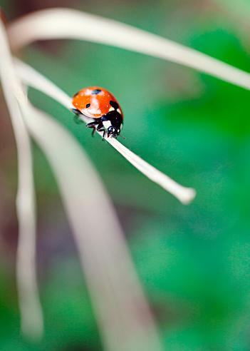 Love fortune「Ladybug perching on dry blade of grass」:スマホ壁紙(16)
