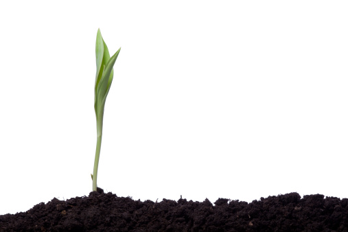 チューリップ「単一のチューリップに植えられたシルエットにブラウンアース」:スマホ壁紙(0)