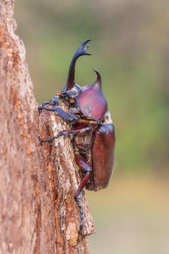 カブトムシ「Japanese rhinoceros beetle」:スマホ壁紙(1)