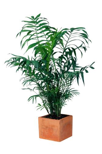 植木鉢「Palm Tree in Planter」:スマホ壁紙(18)