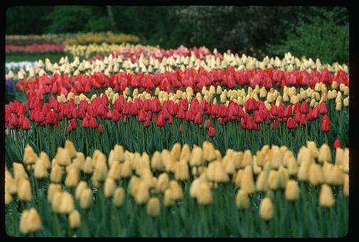 Keukenhof Gardens「Red and Yellow Tulips at Keukenhof Gardens」:スマホ壁紙(15)