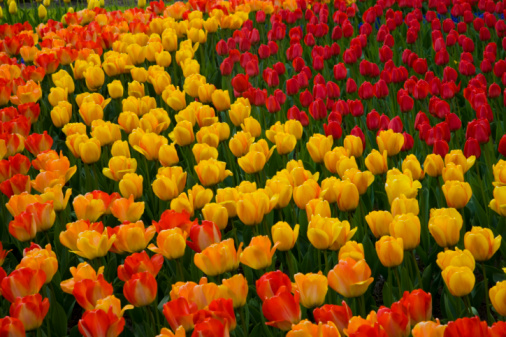 Keukenhof Gardens「Red and Yellow Tulips Keukenhof Gardens, Holland」:スマホ壁紙(4)