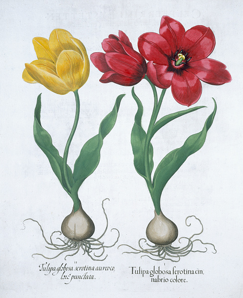 Petal「Red And Yellow Tulip 1613」:写真・画像(18)[壁紙.com]