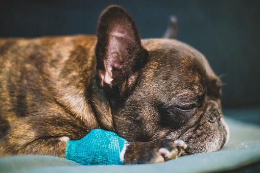 Protective Glove「sick french bulldog sleeping on the sofa」:スマホ壁紙(1)