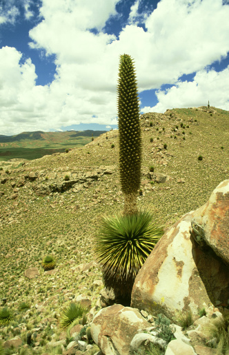Bolivian Andes「puya, puya sp., plant 10m tall,  bolivian andes」:スマホ壁紙(14)