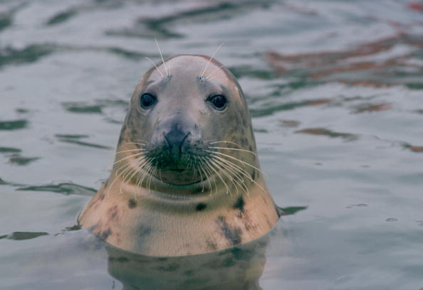 Animal Body Part「Seal, Helford Estuary, Cornwall, UK」:写真・画像(12)[壁紙.com]