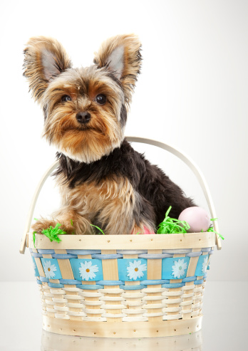Easter Basket「Yorkie sitting in an Easter Basket」:スマホ壁紙(5)