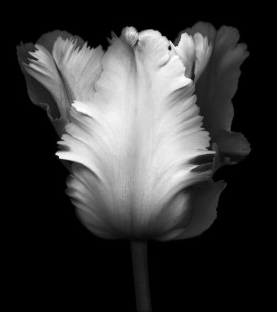 チューリップ「ブラックとホワイトの画像、チューリップ」:スマホ壁紙(1)