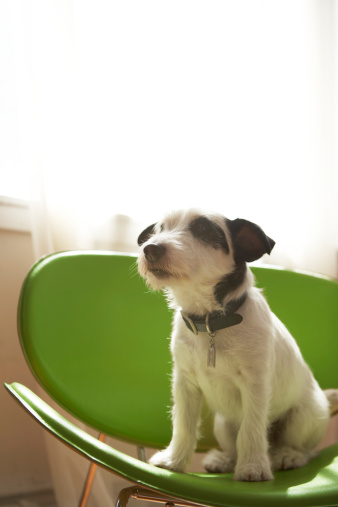 Part of a Series「Black and white terrier dog sitting on green chair by window」:スマホ壁紙(3)