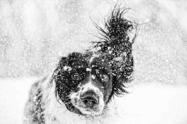 Black and white springer spaniel dog in the snow:スマホ壁紙(壁紙.com)