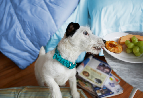 Mischief「Black and white terrrier dog licking breakfast plate on bedside table」:スマホ壁紙(19)