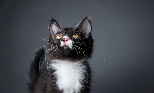 猫「ブラックとホワイトのキトン」:スマホ壁紙(9)