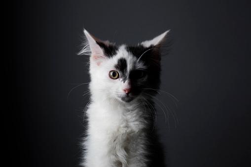 Animal Whisker「Black and White Kitten - The Amanda Collection」:スマホ壁紙(14)