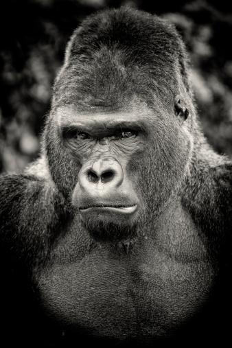Gorilla「Black and white portrait of angry silverback gorilla」:スマホ壁紙(17)