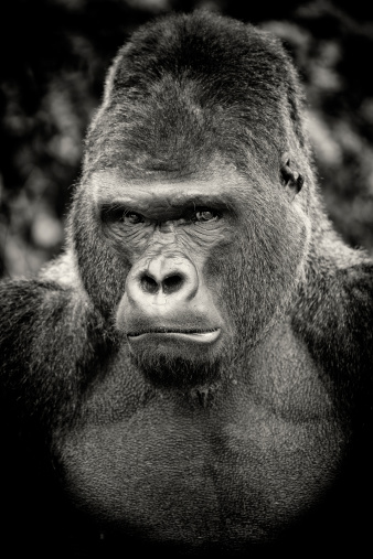 Displeased「Black and white portrait of angry silverback gorilla」:スマホ壁紙(18)