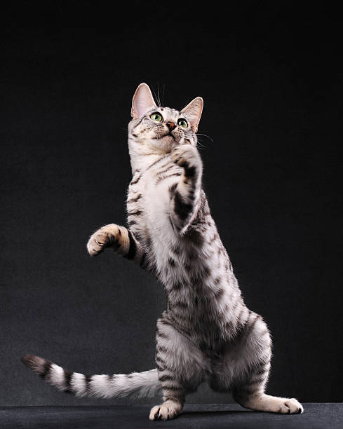 Black and white bengal cat standing on two legs:スマホ壁紙(壁紙.com)