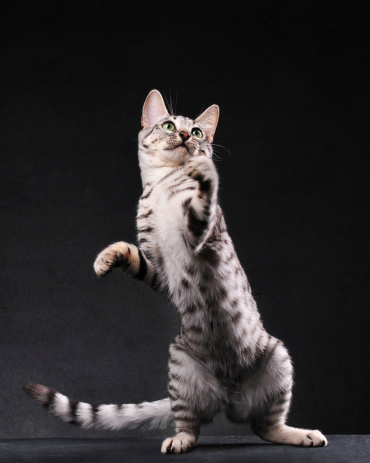 Full Length「Black and white bengal cat standing on two legs」:スマホ壁紙(11)