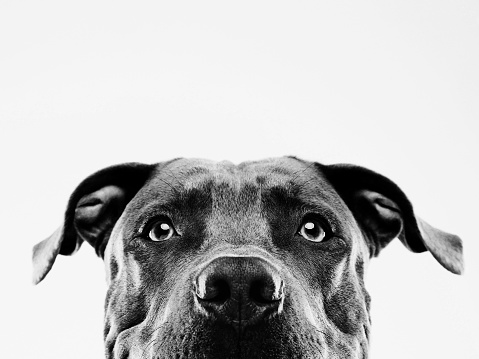 Begging - Animal Behavior「Black and white pit bull dog studio portrait」:スマホ壁紙(16)