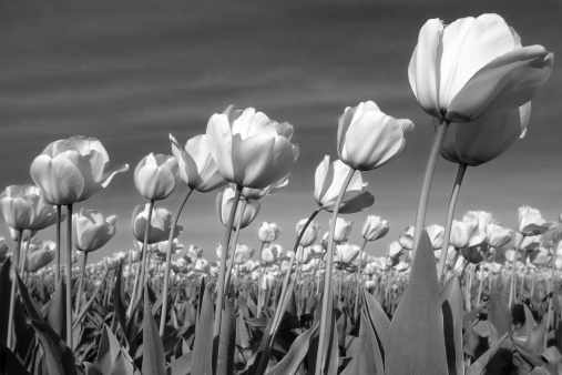 Amsterdam「Black and White Tulips Blowing in Gentle Breeze」:スマホ壁紙(17)