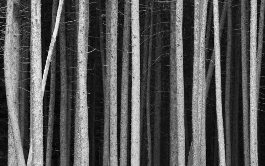 High Contrast「Black and White Pine Tree Trunks Background」:スマホ壁紙(1)