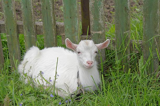 White goatling:スマホ壁紙(壁紙.com)