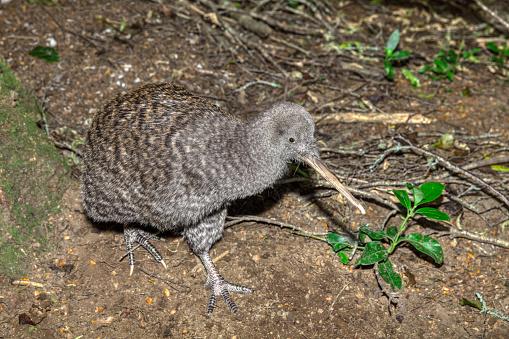Kiwi「Great Spotted Kiwi ( Apteryx hasstii )」:スマホ壁紙(4)