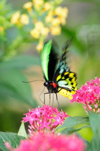 Animal Wing「Beautiful butterfly (Ornithoptera priamus) feeding on a pink flower」:スマホ壁紙(18)