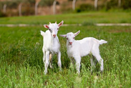 Nanny Goat「Beautiful Baby Goats」:スマホ壁紙(5)