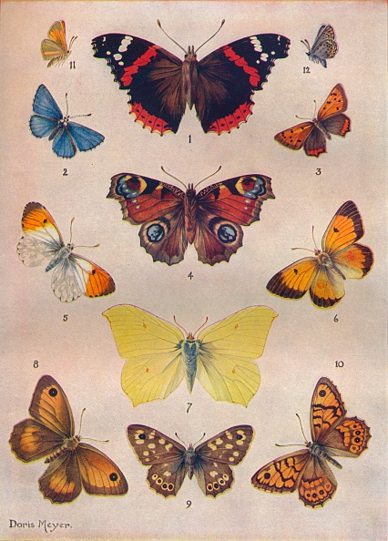 Butterfly - Insect「'Beautiful Butterflies of the British Isles', c1934. Artist: Unknown.」:写真・画像(6)[壁紙.com]