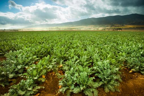 セロリ「農作物成長の肥沃な土地に農場」:スマホ壁紙(19)