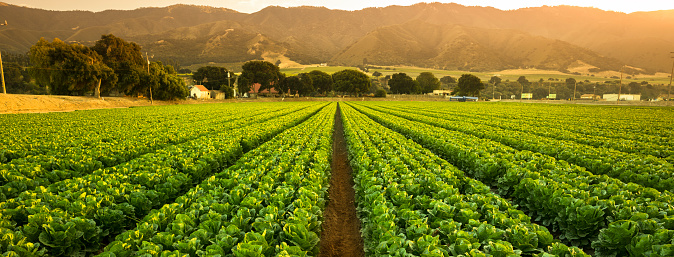 Monterey Peninsula「Crops grow on fertile farm land panoramic before harvest」:スマホ壁紙(5)