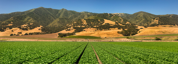 Planting「Crops grow on fertile farm land panoramic before harvest」:スマホ壁紙(3)