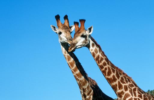 Giraffe「Giraffe (Giraffa camelopardalis) Pair Nuzzling」:スマホ壁紙(12)