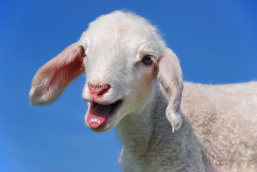 Goat「Baa」:スマホ壁紙(13)