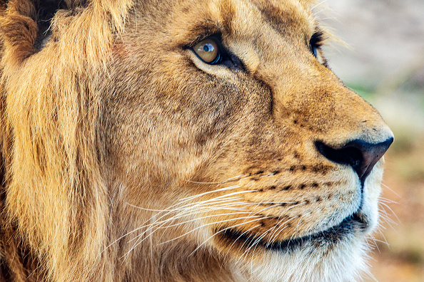 animal「Lions Return To Taronga Zoo With Opening Of New African Savannah Precinct」:写真・画像(12)[壁紙.com]