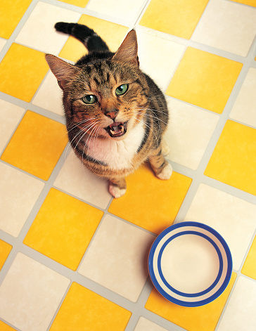 Feeding「Hungry Tabby cat」:スマホ壁紙(19)