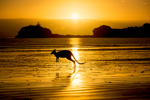 Kangaroo「Australia, Silhouette of kangaroo on beach」:スマホ壁紙(14)
