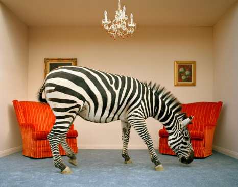 Curiosity「Zebra in living room smelling rug, side view」:スマホ壁紙(17)