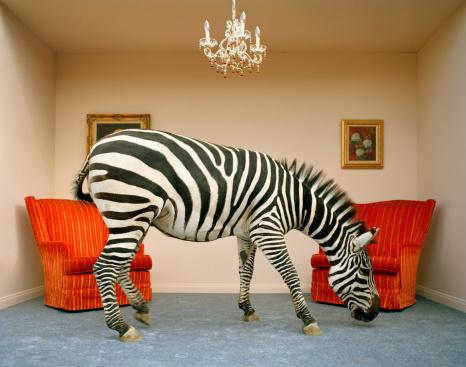Sensory Perception「Zebra in living room smelling rug, side view」:スマホ壁紙(13)
