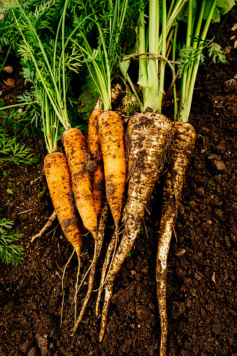 Harvesting「Harvested carrots and parsnips in vegetable garden」:スマホ壁紙(7)