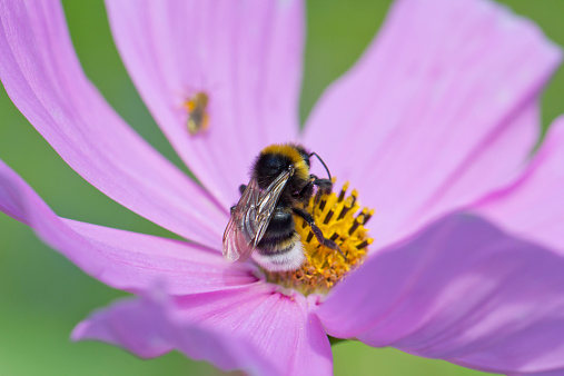 コスモス「Bumble bee, Bombus, sitting on Mexican aster, Cosmea」:スマホ壁紙(19)