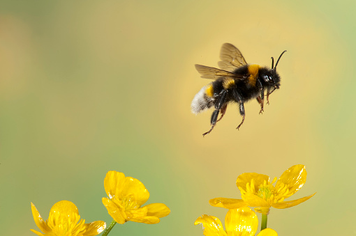 Ecosystem「Bumble Bee, Bombus Hortorum, in flight, free flying over yellow buttercup flowers, high speed photographic technique, longest tongue of UK bees」:スマホ壁紙(15)