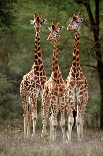 Giraffe「Three Rothschild's Giraffes」:スマホ壁紙(0)