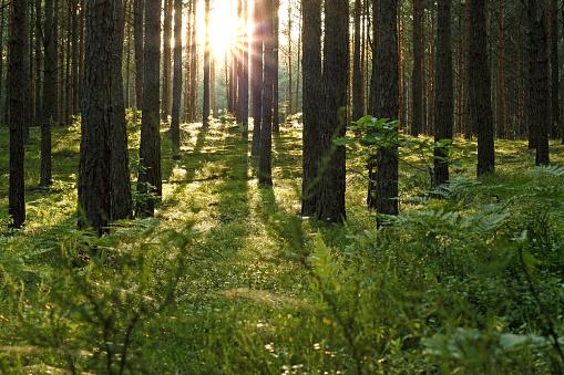 Boreal Forest「Forest sun」:スマホ壁紙(12)