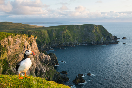 Highland Islands「Atlantic puffin at clifftop edge」:スマホ壁紙(5)