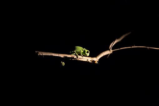 クライミング「Chameleon balancing on a stick in darkness with selective lighting - Sabie Sands Nature Reserve South Africa」:スマホ壁紙(17)