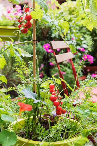 Fennel「Tomatoes and various herbs growing in balcony garden」:スマホ壁紙(5)