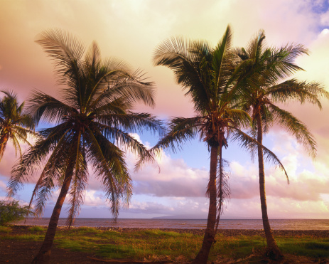 ハワイ ビーチ「USA, Hawaii, Oahu, palm trees near ocean, sunset」:スマホ壁紙(6)