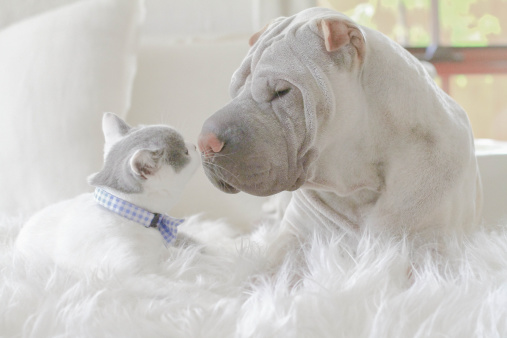 子猫「Shar-pei and kitten face to face」:スマホ壁紙(0)